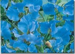 blue sweet peas_Page_1
