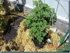 thornless raspberry, pepper plant hiding