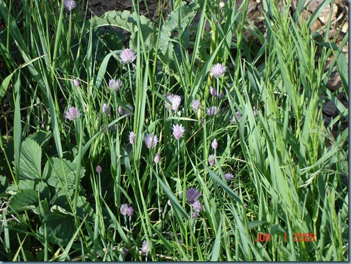strawberry chive weeds